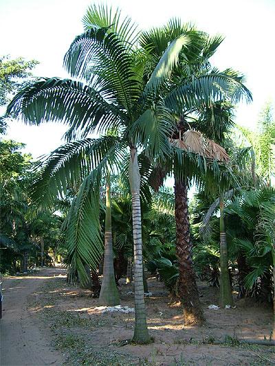 Specimen Palms